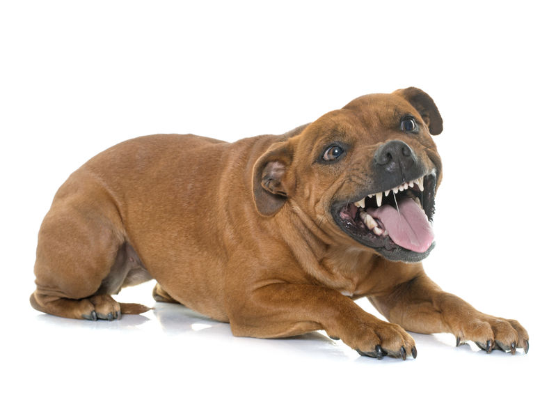 Stafforshire bull terrier agressif