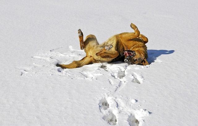 Le chien en hiver